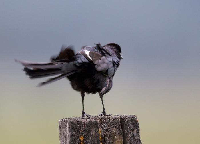 Brewer's Blackbird rousing, flashing white