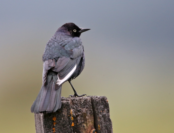 Brewer's Blackbird displaying leucistic primary feather