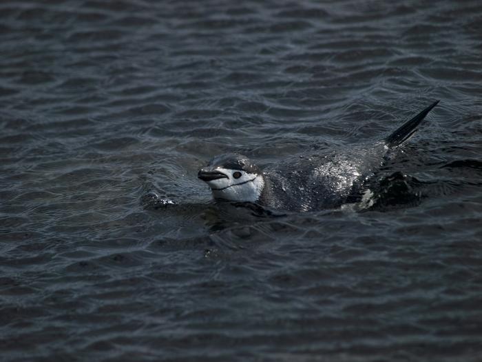 Chinstrap Penguin, South Shetland Island, Southern Ocean