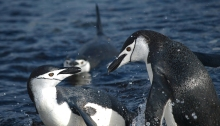 Chinstrap Penguin quarreling, South Shetland Island, Southern Ocean
