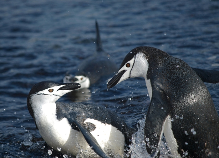 Chinstrap Penguin quarreling, South Shetland Island, Southern Ocean