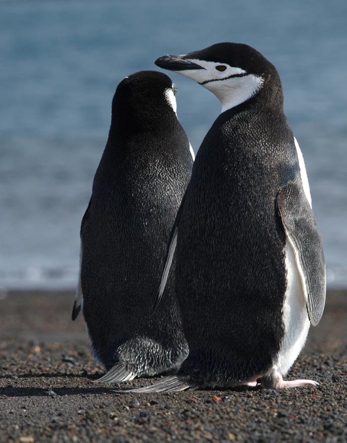 Chinstrap Penguin pair, South Shetland Island, Southern Ocean