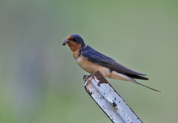 Nest-building Barn Swallow with Mud Daub, Camas Prairie, Idaho