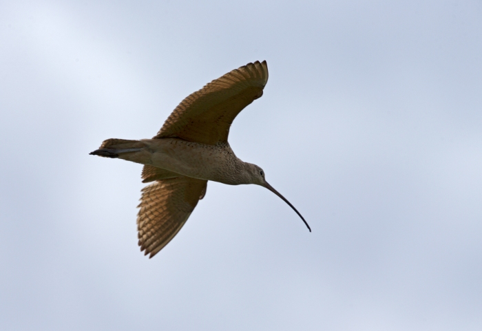 Long-billed Curlew in Flight, Camas Prairie, Idaho