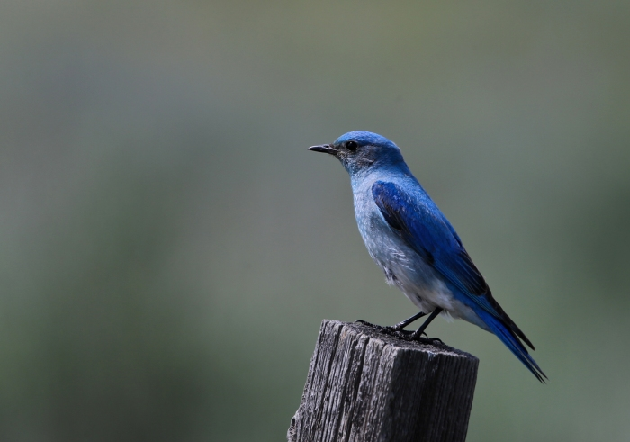 Mountain Bluebird, Camas Prairie, Idaho