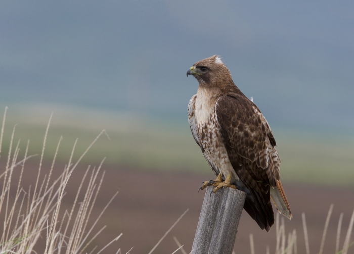 Red-tailed Hawk, Camas Prairie, Idaho