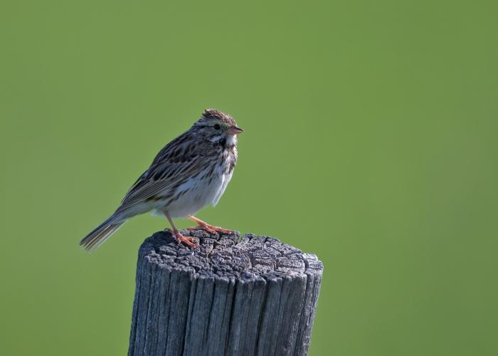 Savannah Sparrow, Camas Prairie, Idaho