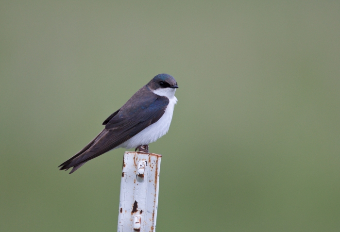 Tree Swallow, Camas Prairie, Idaho