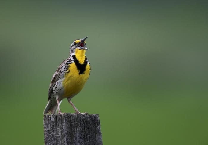 Western Meadowlark, Camas Prairie, Idaho