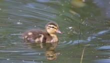 Mallard duckling, Hyatt Hidden Lakes, Boise, Idaho