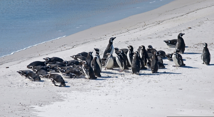 Magellanic Penguins near Stanley, in a no-go zone, East Falkland Island