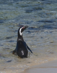 Magellanic Penguin Heading Out to Feed, West Point Island, Falkland Islands