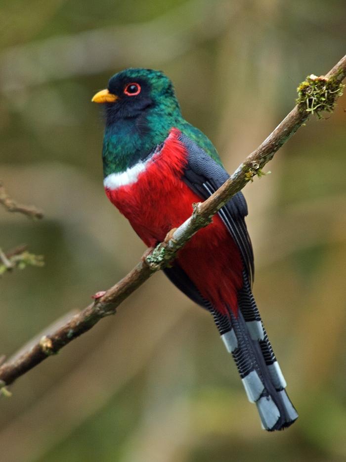 Masked Trogon, Ecuador, 2009
