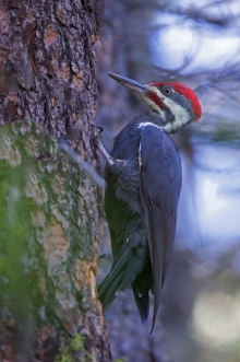 Pileated Woodpecker, Payette Lake, Idaho