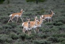 """Pronghorn (not """"Antelope""""), Camas Prairie, Idaho"""
