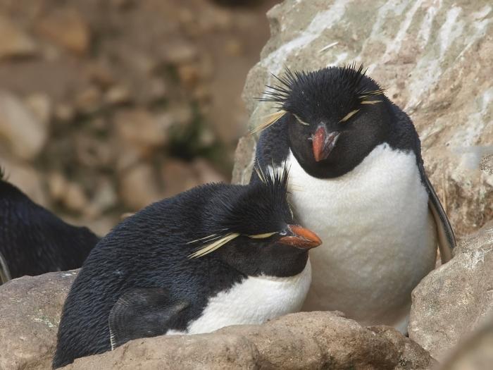Rockhopper Penguin couple on eggs