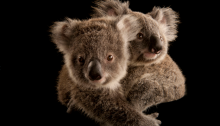 ANI088-00011 Two koala joeys cling to each other, waiting to be placed with human caregivers. Once they're old enough, they'll be released into the wild. © Joel Sartore