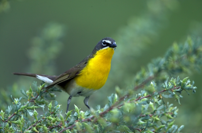 Yellow-breasted Chat, Boise, Idaho