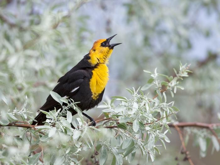Yellow-headed Blackbird male yammering, Hyatt Hidden Lakes, Boise, Idaho