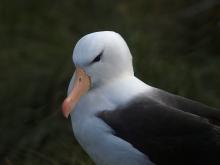 Black-browed Albatross Portrait, West Island, Falkland Islands