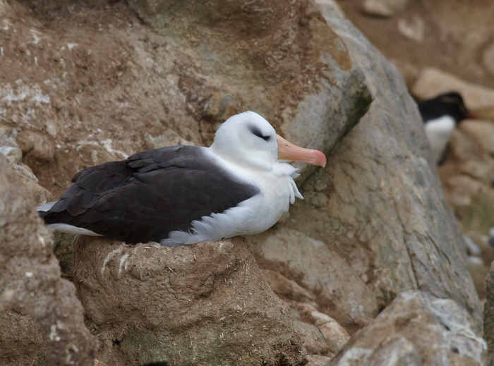 Black-browed Albatross on her egg, West Island, Falkland Islands