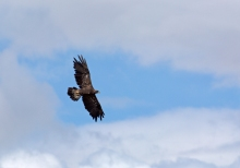 Golden Eagle in Flight, Pahsimeroi Valley, Idaho