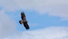Golden Eagle in Flight, Pahsimeroi Valley, Idaho