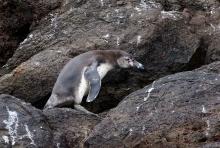 Humboldt Penguin, Pucasana, Peru