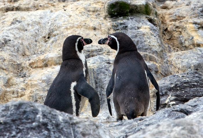 Humboldt Penguin pair engaged in courtship behavior, Pucasana Island, Peru