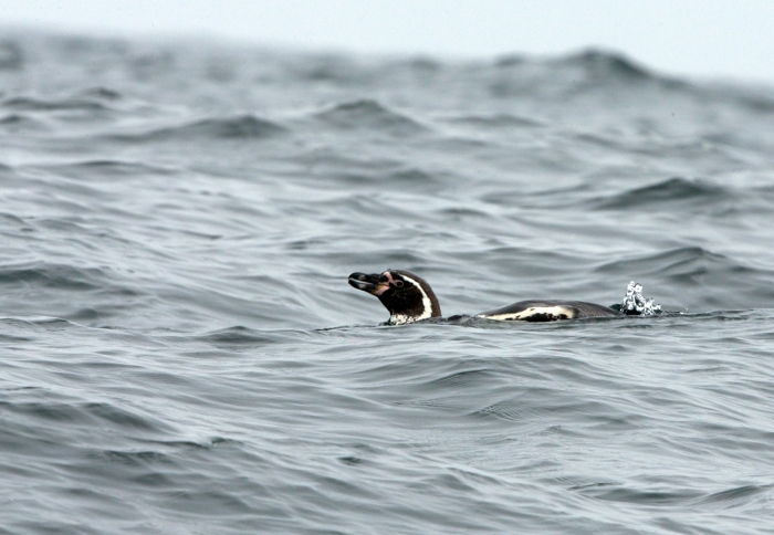 Humboldt Penguin swimming, c. 10 miles off-shore, Peru