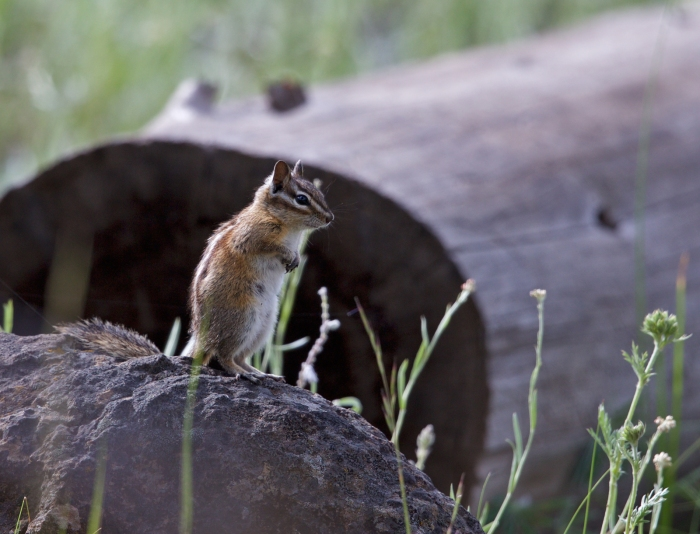 Least Chipmunk, Lost Valley, Idaho