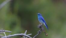 Mountain Bluebird Male, Lost Valley, Idaho