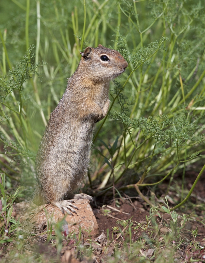 Northern Idaho Ground Squirrel, Lost Valley, Idaho