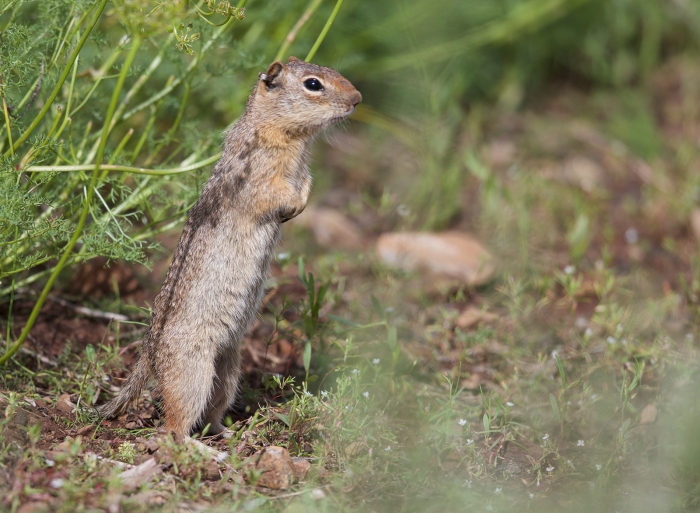 Northern Idaho Ground Squirrel showing full extension, Lost Valley, Idaho