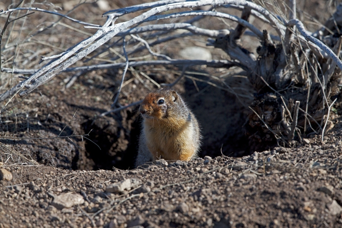 Columbian Ground Squirrel, Old Oregon Trail, Idao