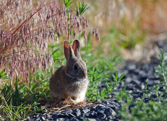 Mountain Cottontail, or maybe a Desert Cottontail, concealing it's identifying feature, Owhyee Front, Idaho