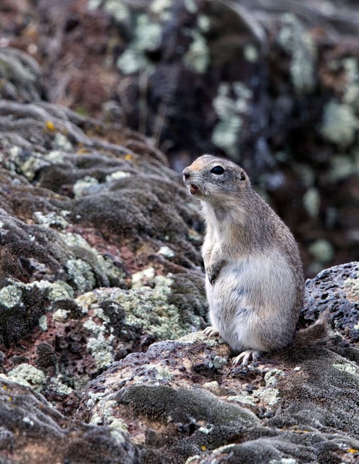 Piute Ground Squirrel, Dedication Point, Snake River Plain, Idaho