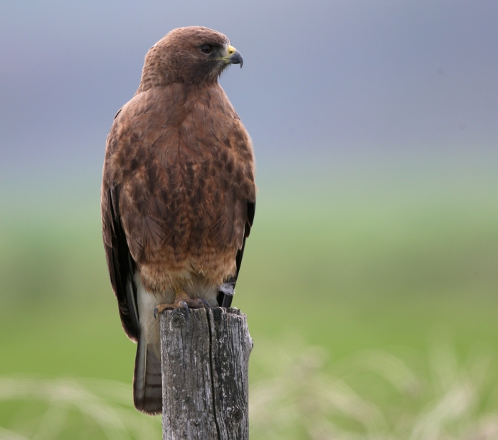 Swainson's Hawk, thinking about lunch, Camas Prairie, Idaho