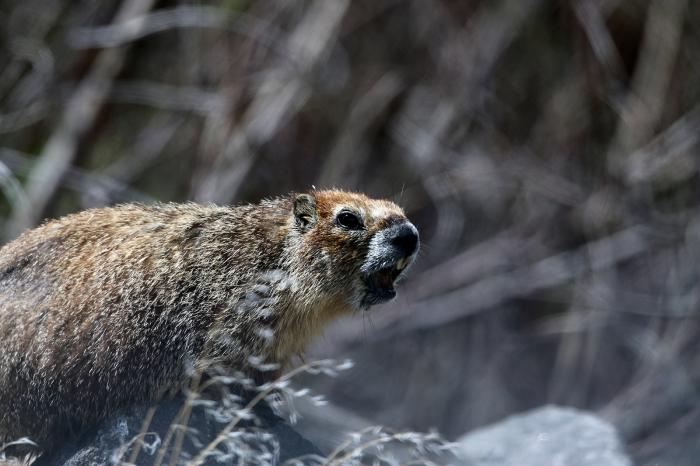 Yellow-bellied Marmot, Shoshone Falls, Idaho