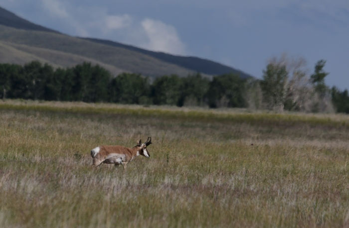"Pronghorn – not an ""antelope"" – in the Pahsimeroi Valley"