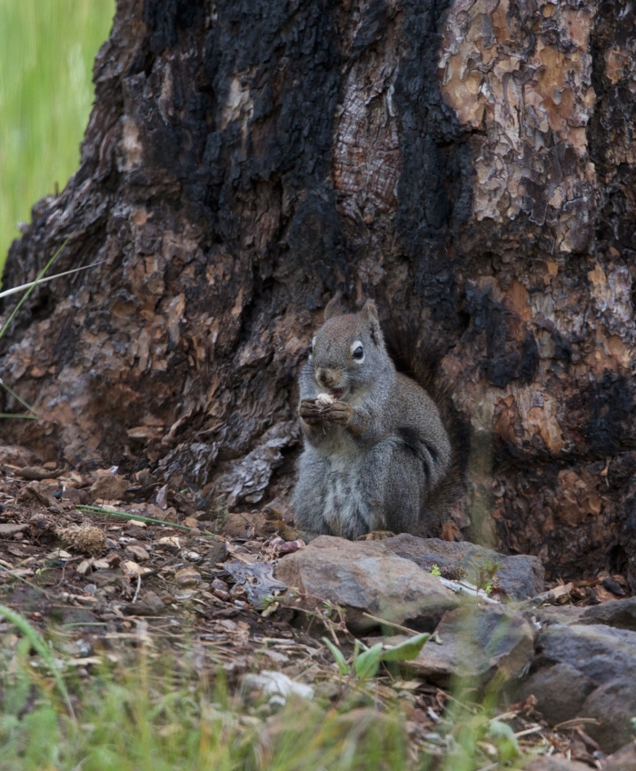 Red Tree Squirrel, Lost Valley, Idaho
