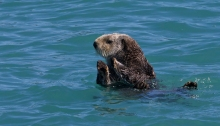 Sea Otter, Valdez Arm, Alaska