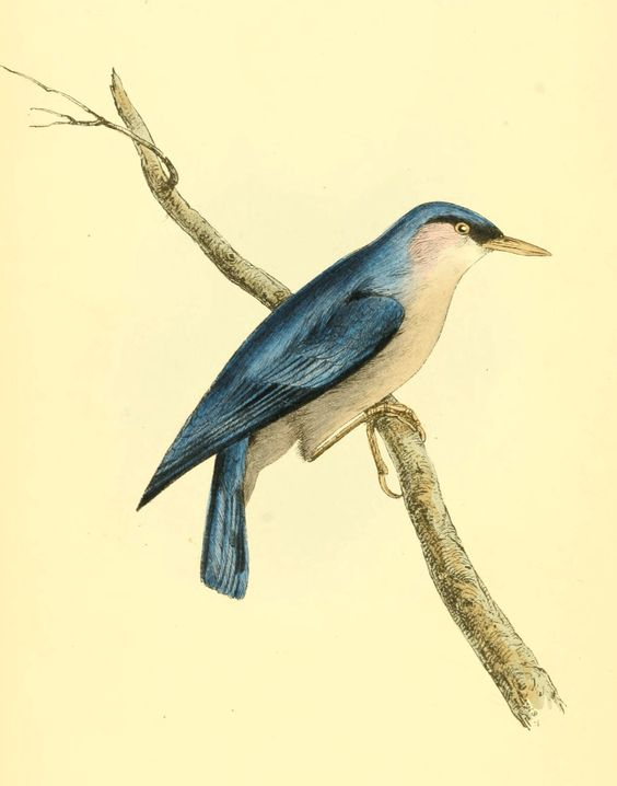 Swainson Illustration Blue Nuthatch