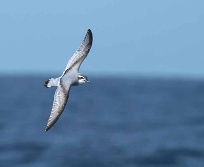 Antarctic Prion, South Orkney Islands, Southern Ocean