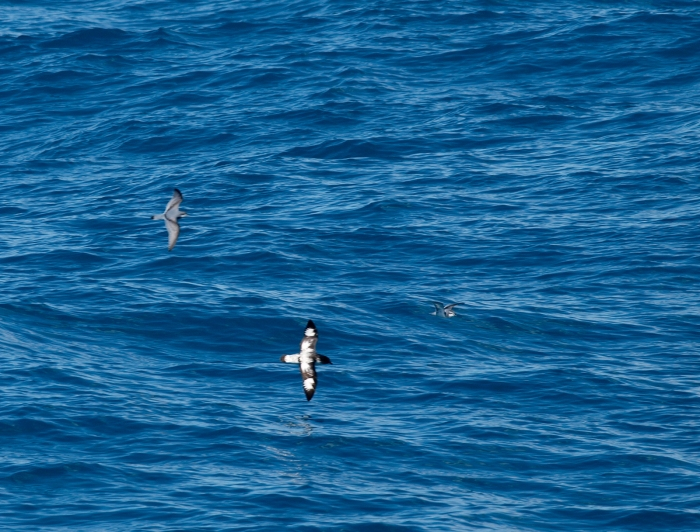 Cape Petrel and Antarctic Prion, South Georgia Island, Southern Ocean