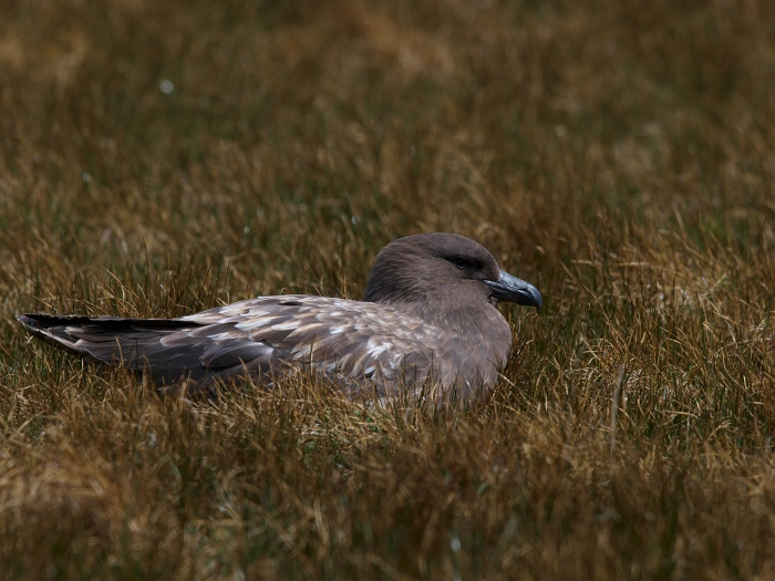 Brown Skua on a Nest, South Georgia Island, Southern Ocean
