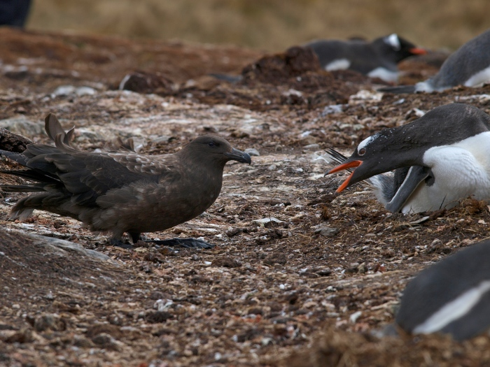 Brown Skua Attempting to Raid a Gentoo Penguin Nest
