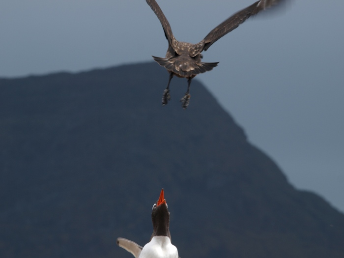 Skua Flyover and Gentoo Reaction