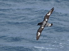 Cape Petrel, South Shetland Islands, Southern Ocean