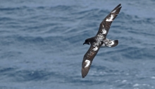 Cape Petrel, South Shetland Islands, Southern Ocean